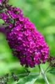 Buddleja davidii Royal Red SYYSSYREENI