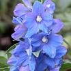 Delphinium Magic Fountains Sky Blue JALORITARINKANNUS