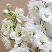 Delphinium Magic Fountains Pure White JALORITARINKANNUS