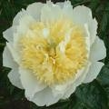 Paeonia Honey Gold KIINANPIONI