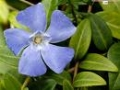 Vinca minor PIKKUTALVIO