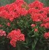 Phlox paniculata 'Orange' SYYSLEIMU