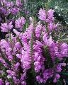 Physostegia virginiana Bouquet Rose KELLOPEIPPI