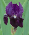 Iris germanica 'Black Knight' SAKSANKURJENMIEKKA