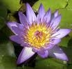 Nymphaea King of the Blues LUMME