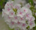 Phlox paniculata 'Famous White with Eye' SYYSLEIMU