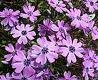 Phlox subulata Purple Beauty SAMMALLEIMU