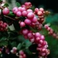 Symphoricarpos x doorenbosii Mother of Pearls LUMIMARJA
