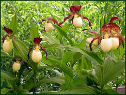 Cypripedium 'Kentucky' TIKANKONTTI
