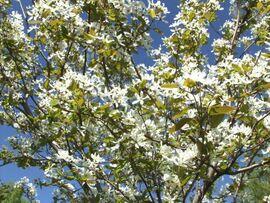 Pelargonian Siemenet