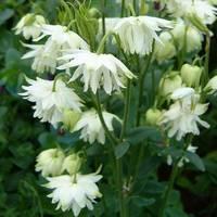 Aquilegia vulgaris White Barlow JALOAKILEIJA