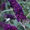 Buddleja davidii Black Knight SYYSSYREENI