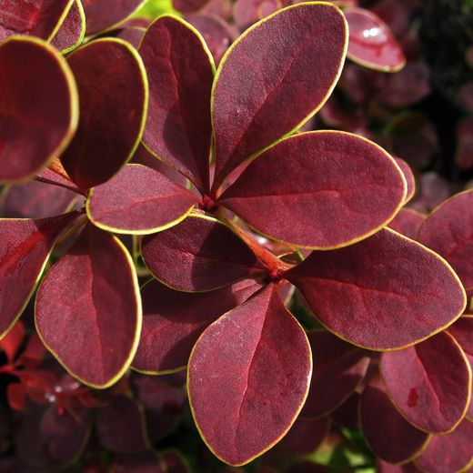 Berberis thunbergii Golden Ring KÄÄPIÖHAPPOMARJA