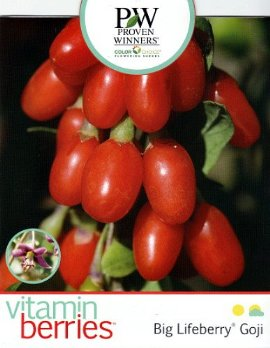Lycium barbarum 'Big Lifeberry' GOJI-MARJA pukinpensas