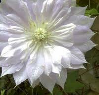 Clematis Duchess of Edinburgh LOISTOKÄRHÖ
