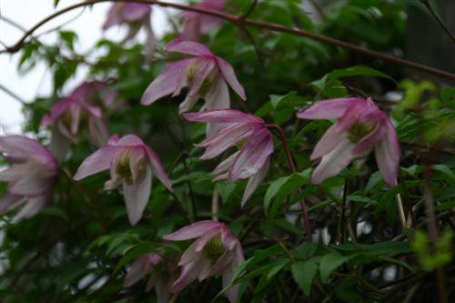Clematis alpina 'Willy' TARHA-ALPPIKÄRHÖ