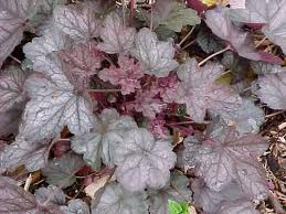 Heuchera Silver Scroll's KEIJUNKUKKA