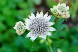 Astrantia major 'Star of Billion' ISOTÄHTIPUTKI