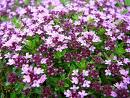Thymus serpyllum Magic Carpet KANGASAJURUOHO