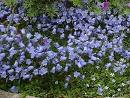 Campanula cochleariifolia 'Jingle Blue'  KÄÄPIÖKELLO