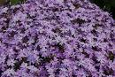 Phlox subulata 'Early Spring Blue' SAMMALLEIMU