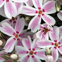 Phlox subulata Candy Stripes	SAMMALLEIMU