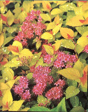 Spiraea japonica 'Magic Carpet' JAPANINANGERVO