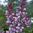 Syringa vulgaris Katherine Havemeyer JALOSYREENI