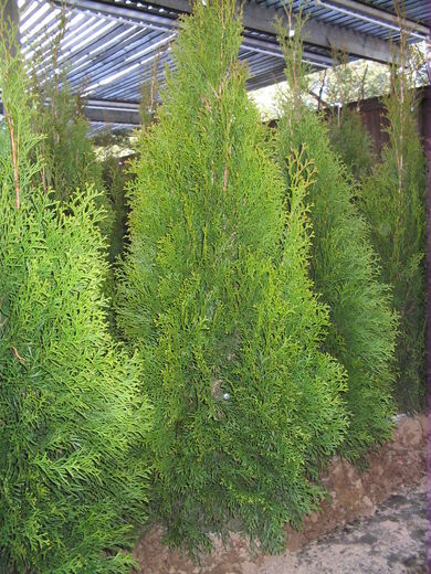 Thuja occidentalis 'Smaragd'  TIMANTTITUIJA