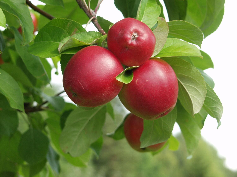 Omenapuu Hinta