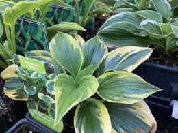 Hosta 'Twilight' KUUNLILJA