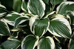 Hosta fortunei 'Patriot' KOMEAKUUNLILJA