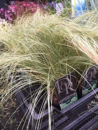 Carex comans 'Frosted Curls' KUPARISARA