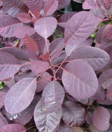 Cotinus coggygria 'Royal Purple' PERUUKKIPENSAS