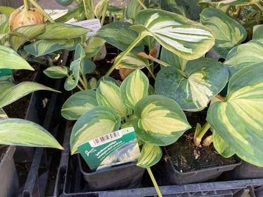Hosta 'Great Expectation' JALOKUUNLILJA