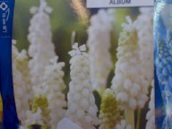 Muscari aucheri White Magic HELMILILJA