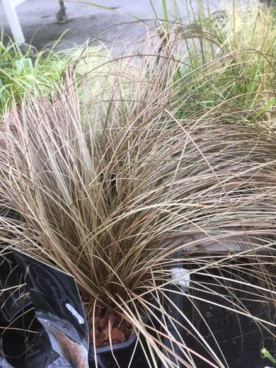 Carex comans 'Bronze Form' KUPARISARA