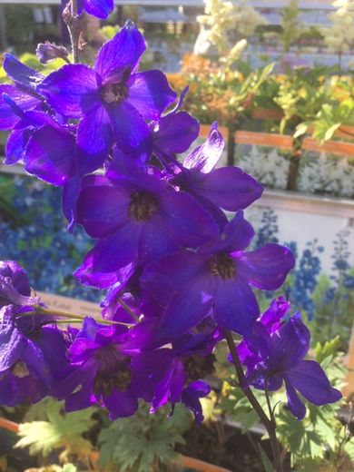 Delphinium Magic Fountains 'Blue' JALORITARINKANNUS