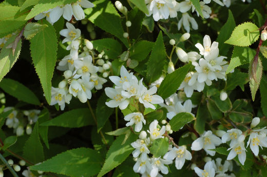 Deutzia gracilis 'Nikko' NIETOSPENSAS