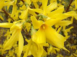 Forsythia intermedia 'Lynwood' KOMEAONNENPENSAS
