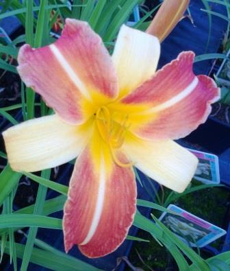 Hemerocallis 'Punch Yellow' PÄIVÄNLILJA