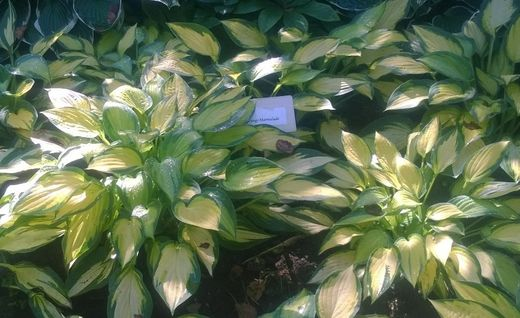 Hosta 'Orange Marmalade' KUUNLILJA