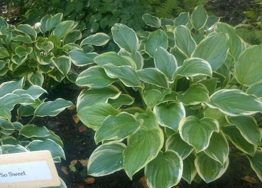 Hosta 'So Sweet' JALOKUUNLILJA