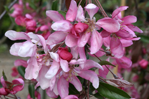 Malus Cheal's Weeping  RIIPPAOMENAPUU