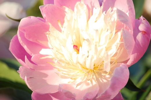 Paeonia lactiflora 'Bowl of Beauty' KIINANPIONI