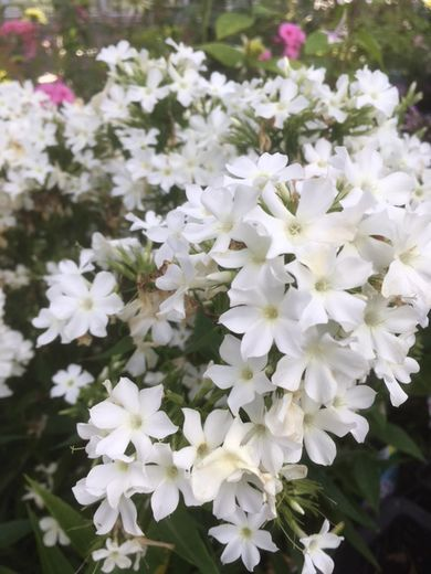 Phlox paniculata 'Early White' SYYSLEIMU
