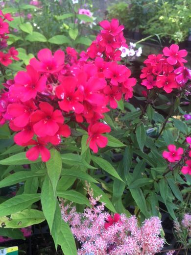 Phlox paniculata 'Early Red' SYYSLEIMU
