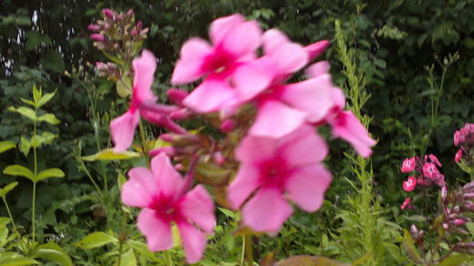 Phlox paniculata 'Early Pink Dark Eye' SYYSLEIMU