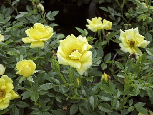 Rosa 'Golden Penny' PATIORUUSU
