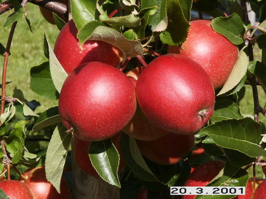 Malus domestica 'Summerred' OMENAPUU